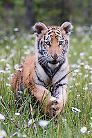 Young tiger playing with a daisy in a field of daisies - CA
