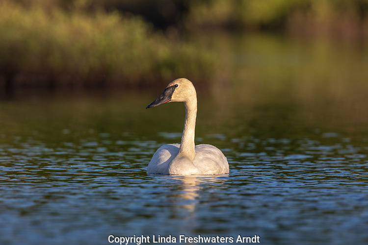 Trumpeter swan swimming in northern Wisconsin (nictitating membrane is covering part of the eye).
