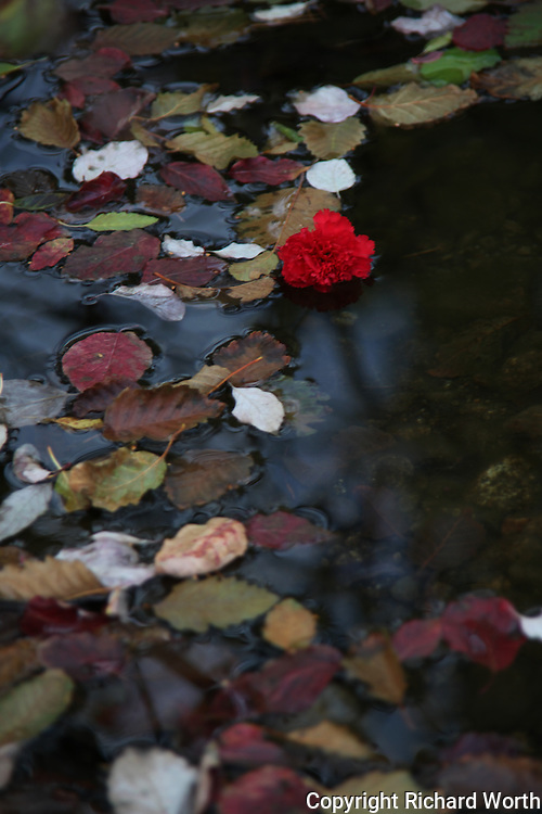 Like the ugly duckling, an out-of-place carnation floats among the scattered fall leaves floating on the South Yuba River in the Sierras.