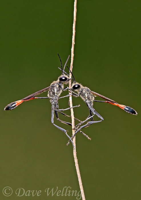 397650003a a wild pair of thread-waisted wasps genus ammophila perch on a stick at southeast regional park austin texas united states