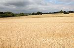 Field of golden ripe wheat crop under overcast grey sky, River Deben valley, Sutton, Suffolk, England, UK