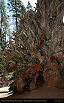 Fallen Monarch Roots, Giant Sequoia, Sequoiadendron giganteum, Mariposa Grove of Giant Sequoias, Yosemite National Park