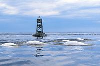Beluga (Delphinapterus leucas) pod surfacing in the Churchill River, Manitoba, Canada.