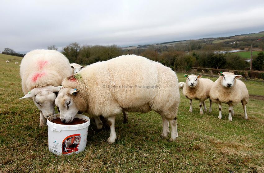 Photo: Richard Lane/Richard Lane Photography. Sheep feeding from buckets at Langford, Wiltshire. 03/01/2013.