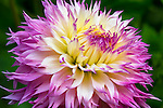 Dahlia 'Pinelands Princess'