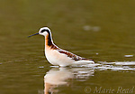Wilson's Phalarope (Phalaropus bicolor), female in breeding plumage, Orange County, California, USA