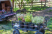 Fresh harvested cut flowers in cart by field, No-till flower farming, Singing Frogs Farm