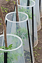 Tomato seedlings protected from low temperatures under clear plastic cloches.