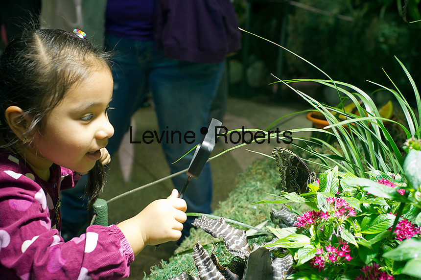 """A child from the Goddard Riverside Head Start Program observe a Blue Morpho butterfly (morpho peleides) from Costa Rico in """"The Butterfly Conservatory:  Tropical Butterflies Alive in Winter"""" at the American Museum of Natural History in New York on Thursday, October 6, 2011.  500 butterflies hover above the visitors in the 1200 square foot  vivarium where children and adults can observe and play amongst the flying beauties.  (© Frances M. Roberts)"""