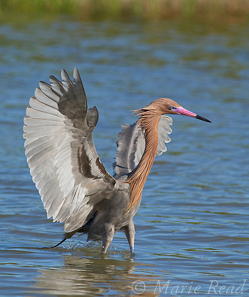 Reddish Egret (Egretta rufescens) spreads wings while foraging in a lagoon, Fort DeSoto Park, Florida, USA<br /> Vertical crop from original.