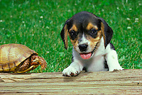 Beagle puppy standing on hind legs to get a better view of a box turtle
