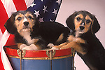 two terriers with drum and American flag