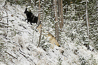 Wild GRAY WOLVES (Canis lupus) hunting.  Greater Yellowstone Area.  Fall.