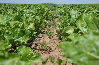 Sugar beet with weeds - Lincolnshire, June