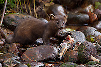 Pine Marten standing by some dead fish along a river