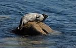 Harbor seal on rock in Monterey
