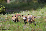 Red fox kits playing near den. Grand Teton National Park, Wyoming.
