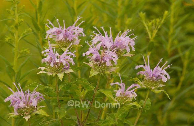 wild bergamot, monarda fistulosa