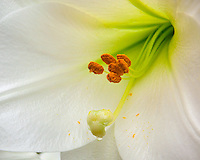 Close-up of white trumpet lily, Lilium longiflorum 'White Heaven'