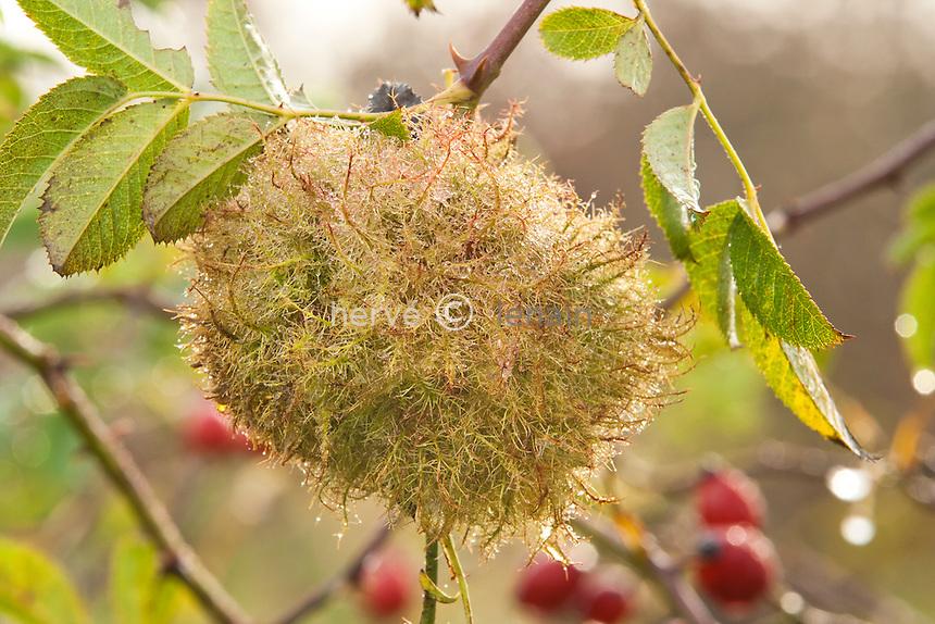 galle sur églantier (Rosa canina) du à des cynips // Diplolepis rosae, Rose bedeguar gall.