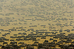 A vast herd of rain-drenched wildebeest crosses the open plains of southern Kenya's Mara River region. Annual rains return to the parched land in late August, prompting this yearly migration. Between one and two million mammals travel at the height of the migration.