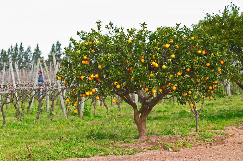 Orange trees with oranges on the branches and a vineyard worker in the background. Vinedos y Bodega Filgueira Winery, Cuchilla Verde, Canelones, Montevideo, Uruguay, South America