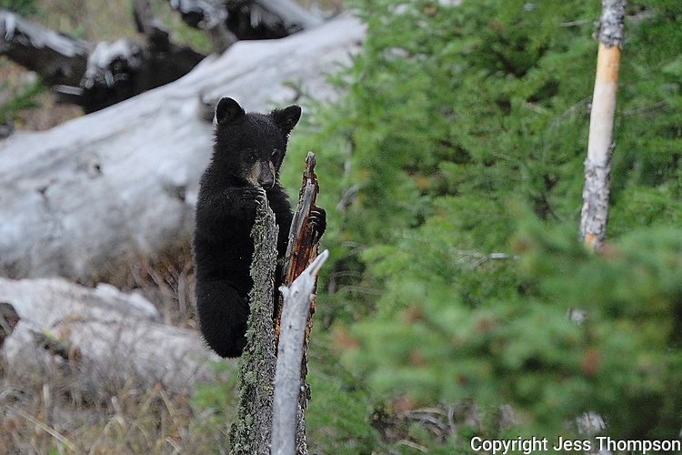 Black Bear Cub in Yellowstone