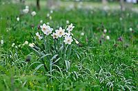 Narcissus poeticus (Pheasant's Eye)
