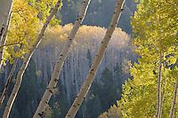 Last Dollar Road aspens.<br /> <br /> Canon EOS 5D, 70-200 f/2.8L lens