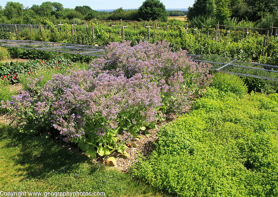 Borage in flower growing in vegetable garden, Sissinghurst castle gardens, Kent, England, UK