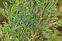Sadebaum, Stink-Wacholder, Gift-Wacholder, Stinkwacholder, Giftwacholder, Sebenstrauch, Sade-Baum, Juniperus sabina, Savin Juniper, Savin, genévrier sabine