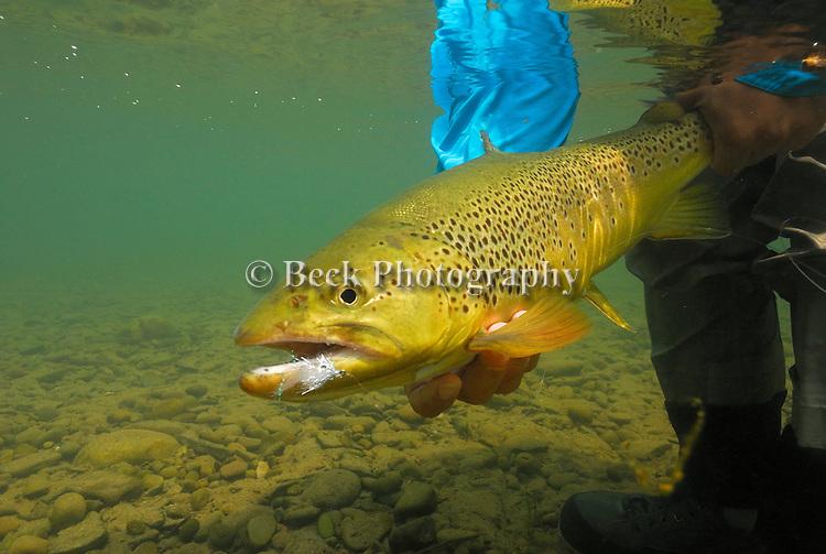 Brown trout on a hi-viz minnow