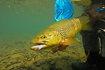 Brown trout on a hi-viz minnow