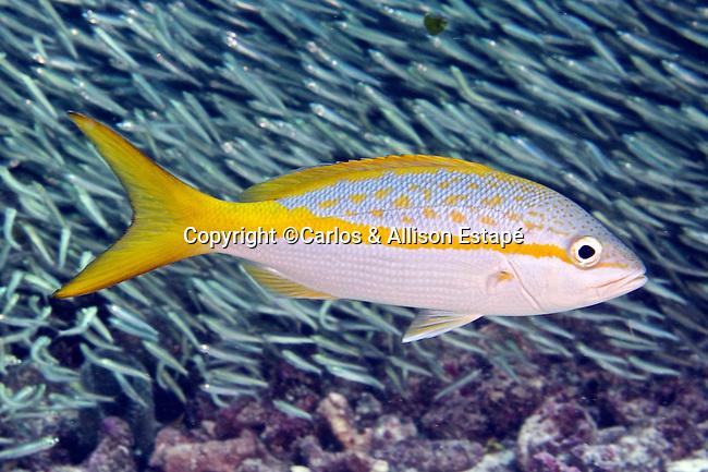 Ocyurus chrysurus, Yellowtail snapper, Florida Keys | Carlos