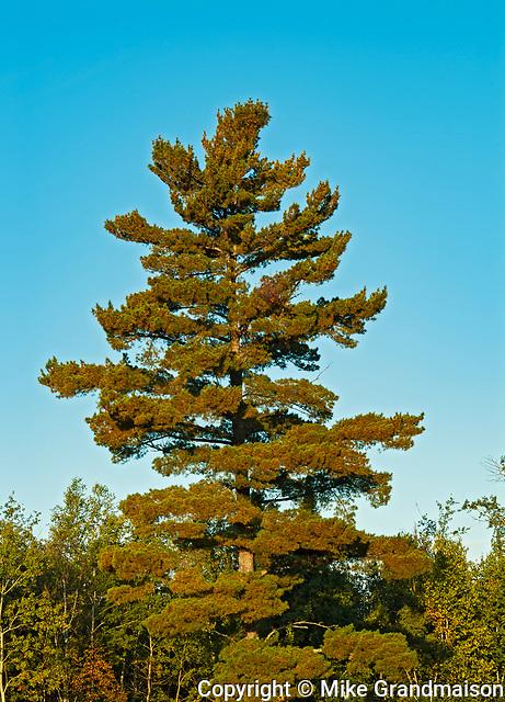White pine trees  (Pinus strobus)<br />Sioux Narrows Provincial Park<br />Ontario<br />Canada