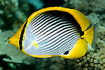 Chaetodon melannotus, Black-backed butterflyfish, Raja Ampat, Indonesia