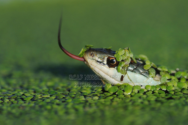 Gulf Coast Ribbon Snake (Thamnophis proximus orarius), adult in duckweed, Fennessey Ranch, Refugio, Corpus Christi, Coastal Bend, Texas Coast, USA