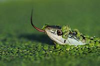 Gulf Coast Ribbon Snake (Thamnophis proximus orarius), adult in duckweed, Fennessey Ranch, Refugio, Corpus Christi, Coastal Bend, Texas Coast, USA