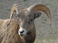 Big Horn Sheep Jasper National Park. Head shots.