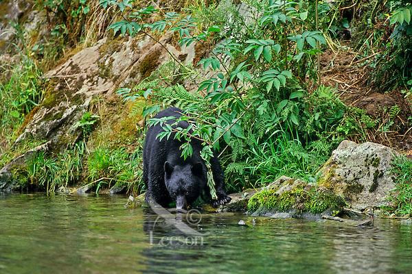 Black Bear (Ursus americanus) drinking from stream.   Northwest coastal area.  Summer.