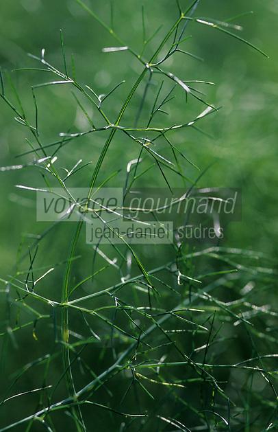 Europe/France/Auvergne/12/Aveyron/Les Homs-du-Larzac: Fenouil dans le jardin de plantes aromatiques de Pierre-Yves de Boissieu