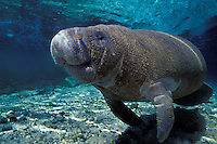 A curious Florida Manatee, Trichechus manatus latirostris, enjoying relatively warm spring water during a winter cold snap.  Three Sisters Springs, Crystal River, Florida, USA