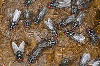 Fliegen, Hausfliege, Fliege auf frischen Pferdeapfel, Kot, Polietes domitor, Muscidae, houseflies, house flies, house-flies, house fly