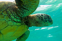 Green sea turtle, North Shore, Oahu, Hawaii