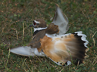 A Killdeer (Charadrius vociferous) feigns injury to lure  predators away from its nearby nest.