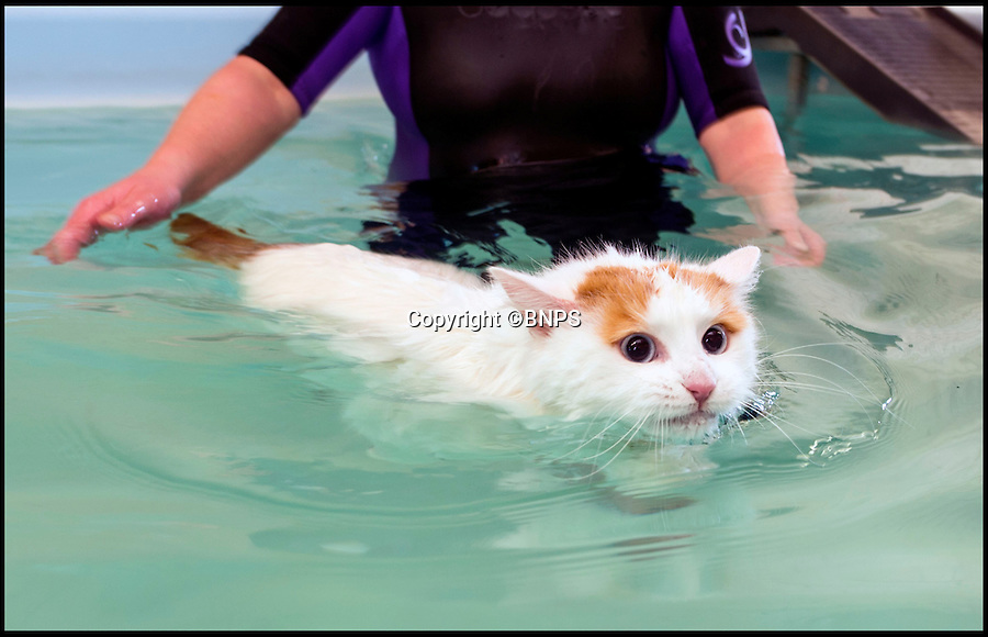 BNPS.co.uk (01202 558833)<br /> Pic: PhilYeomans/BNPS<br /> <br /> Ruby swimming in the pool.<br /> <br /> Cats are well known for their fear of water, but it doesn't bother Ruby - a rare breed of cat that loves to swim.<br /> <br /> The soggy moggy is a three-year-old Turkish Van, an unusual breed that happily splashes in the bath or pools. <br /> <br /> While other cats would shy away from getting wet, this breed has even been known to jump in the bath or shower with people.