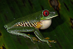 Red Eyed Tree Frog, Agalychnis callidryas, inflated pouch, Costa Rica, sitting on leaf, tropical jungle, South America, calling, croaking,.Central America....