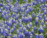 Bluebonnets, Burnet, Texas