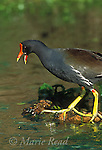 Common Moorhen (Gallinula chloropus) adult giving alarm calls, Florida, USA<br /> Slide # B47-482
