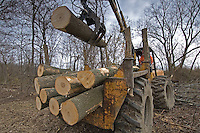 An ash tree is removed from  a forest near Toledo, Ohio, where the ash borer beetle was found. The trees are being destroyed by the ash borer beetle, an invasive species of beetle  thought to have brought into the country from China in wooden pallets used to carry imported goods. The beetle kills the trees by boring under the bark. ..<br />